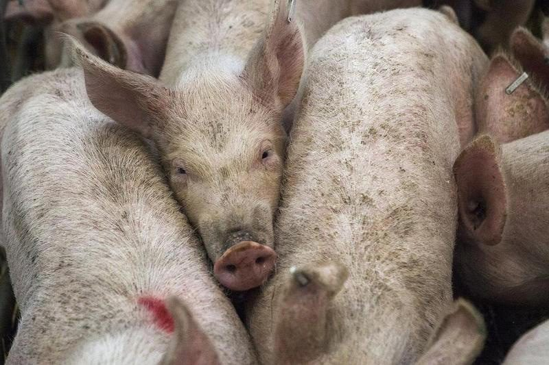 porcs d'élevage